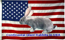 Continental Giant Rabbits In USA