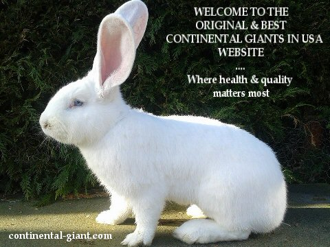 Continental Giant Rabbits In Usa Where Health And